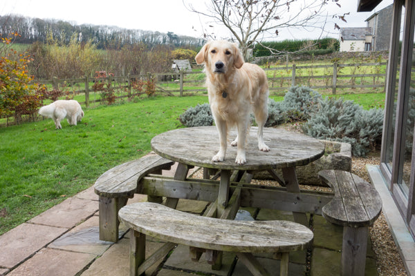 Golden retriever dog standing on table in garden | Barks & Bunnies