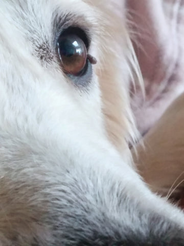 Albie S Adventures Skin Tag On Dog Eyelid Pictures Barks Bunnies