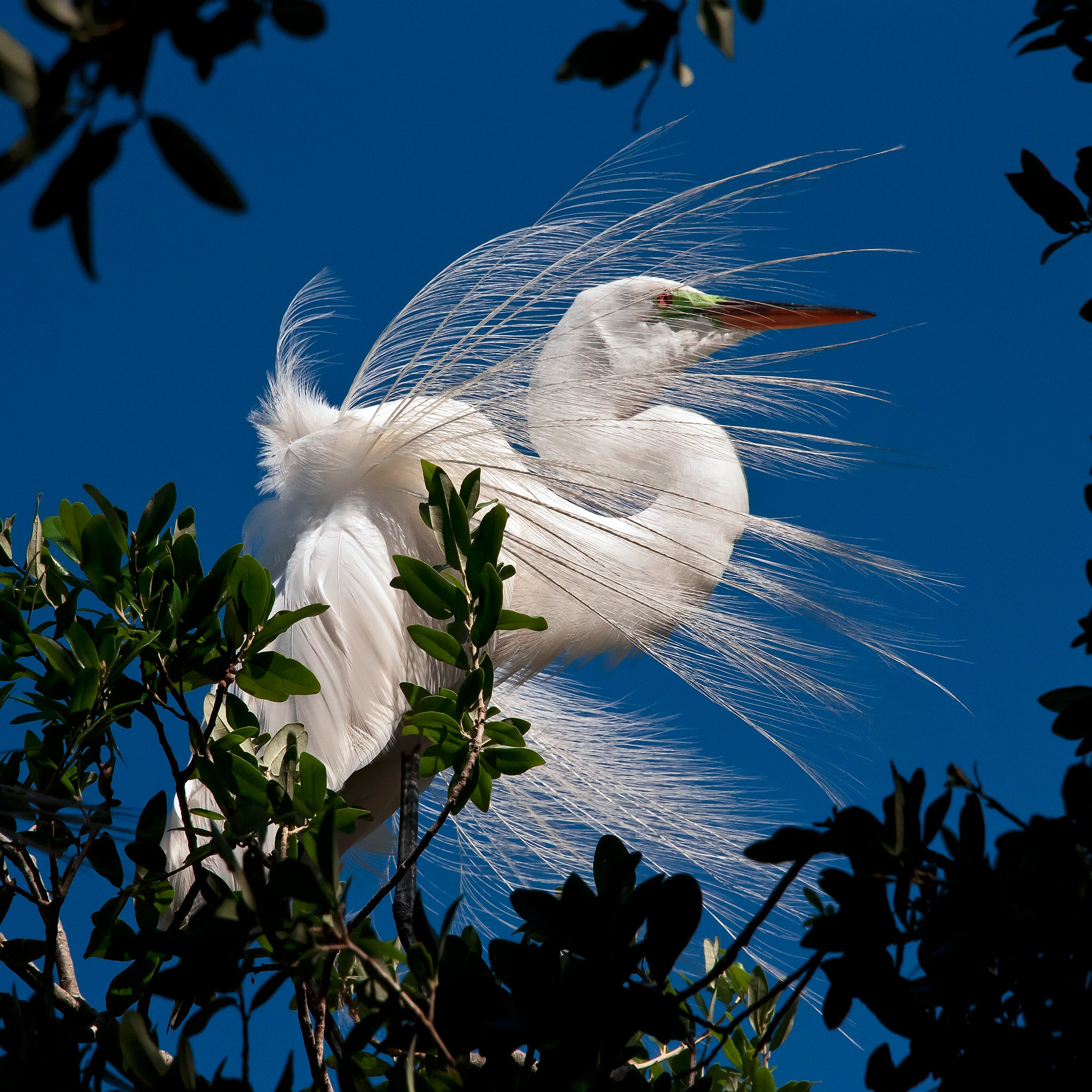 'Egret in the Wind'