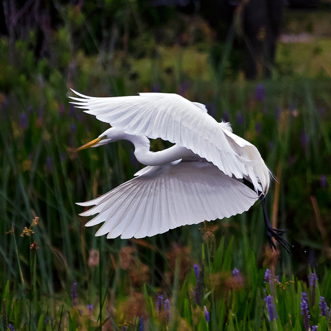 'Great White Egret In Flight'