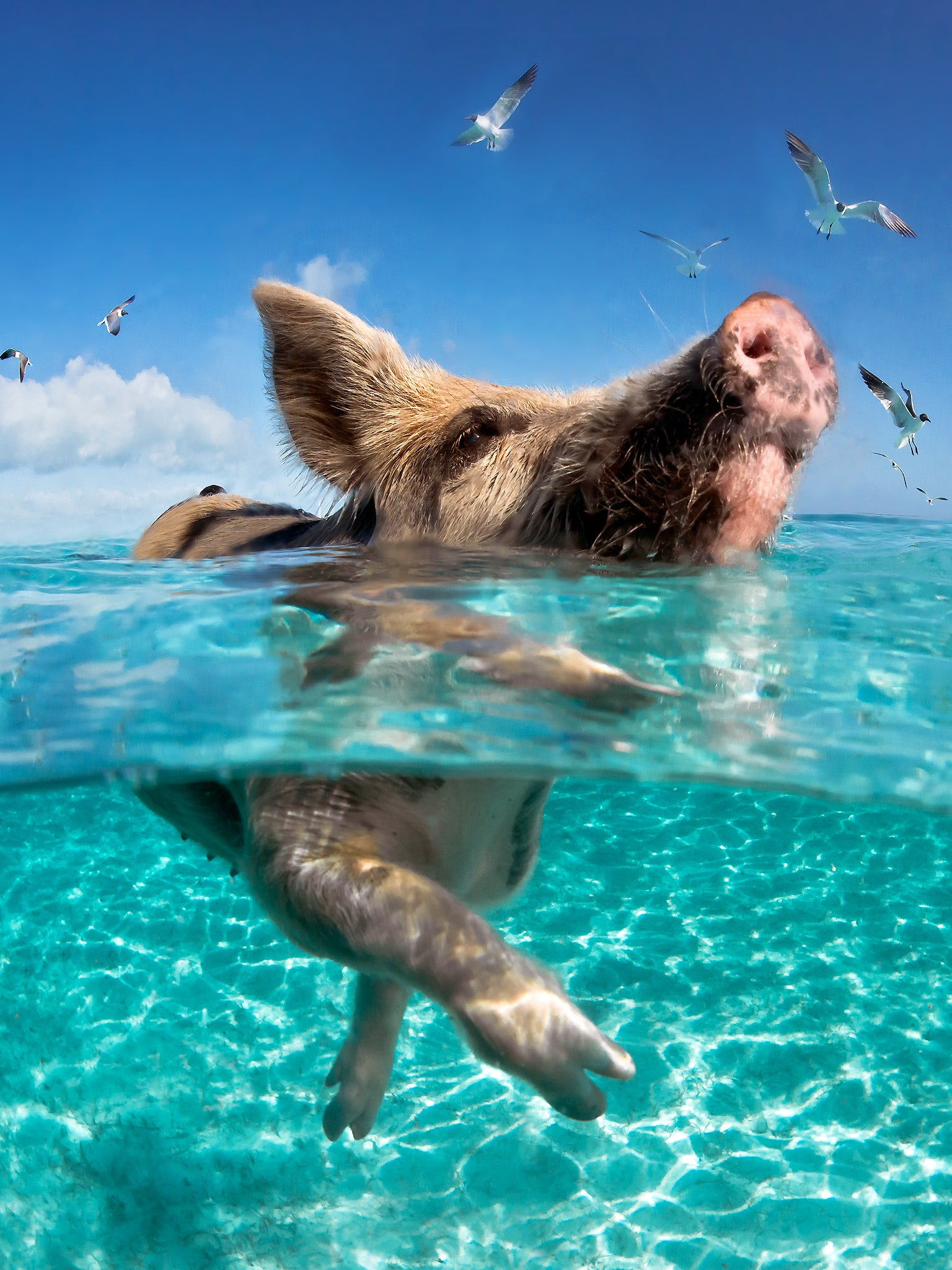 'If Pigs Could Swim'