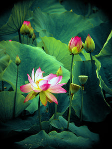 'Lotus Forest'