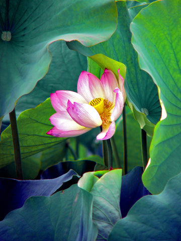 'Peeking Lotus'