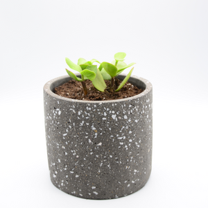 speckled concrete pot (granite-look pot) and succulent large leaf elephant food
