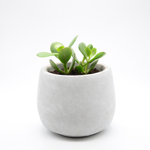 small cement fishbowl vase pot with succulent baby jade