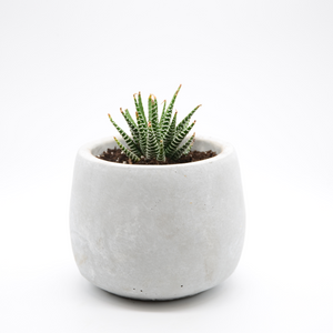 small cement fishbowl vase pot with succulent zebra plant