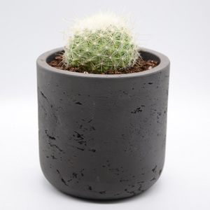 black fiberglass combined with cement pot and Cactus mammillaria senilis