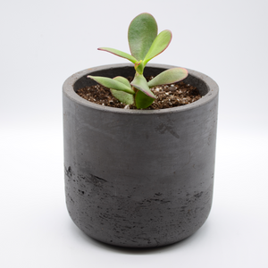 black fiberglass combined with cement pot and succulent golden jade
