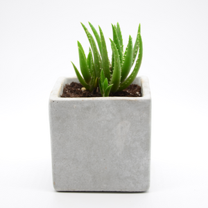 Square cement vase and Aloe Vera