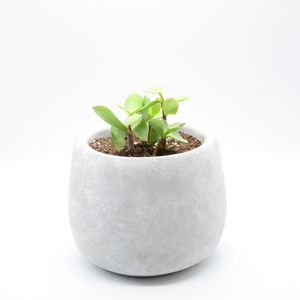 small cement fishbowl vase pot with succulent large leaf elephant food