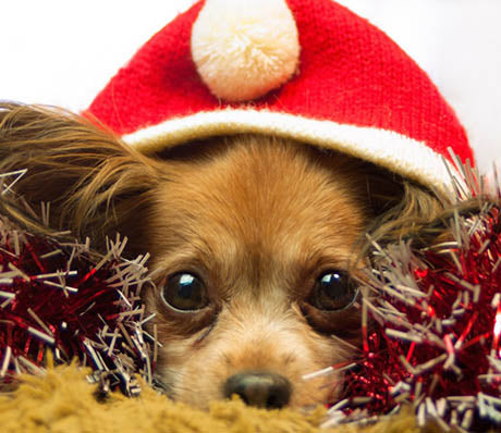 Funny pictures of Dogs on Christmas