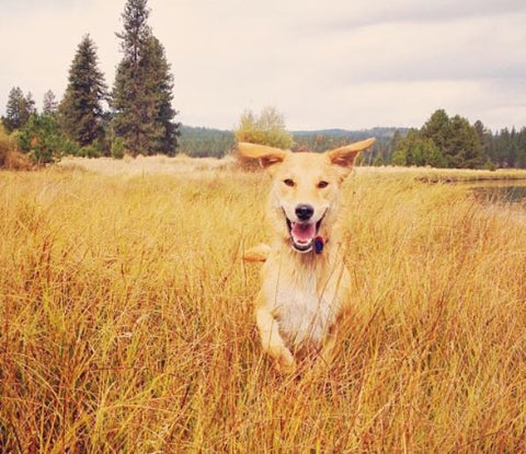 Running through the fields thanks to the best dog joint chews.