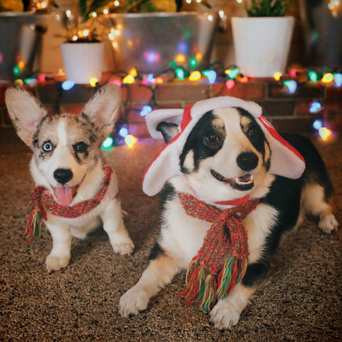 2 Corgis in a Christmas outfit. Very active pups.