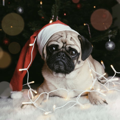 Pug in christmas lights