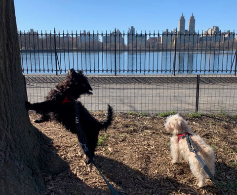 Dogs are making less trips to Central Park during the Covid-19 crisis.