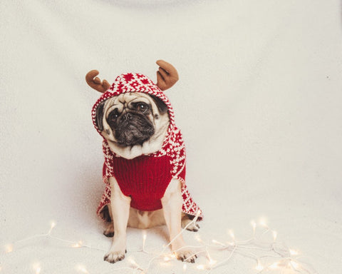 Pug with a Christmas outfit