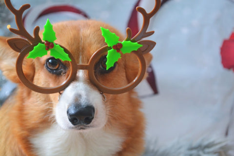Dog wearing reindeer antlers and glasses.