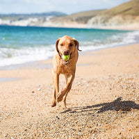 A senior dog runs on the beach with a tennis ball after taking a joint health supplement.