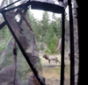 An Archery Elk Encounter of a Lifetime, Part Two: By, Amos Madison, Prostaffer