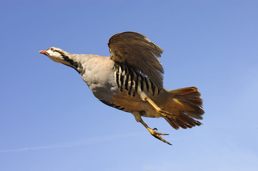 Chukar in flight