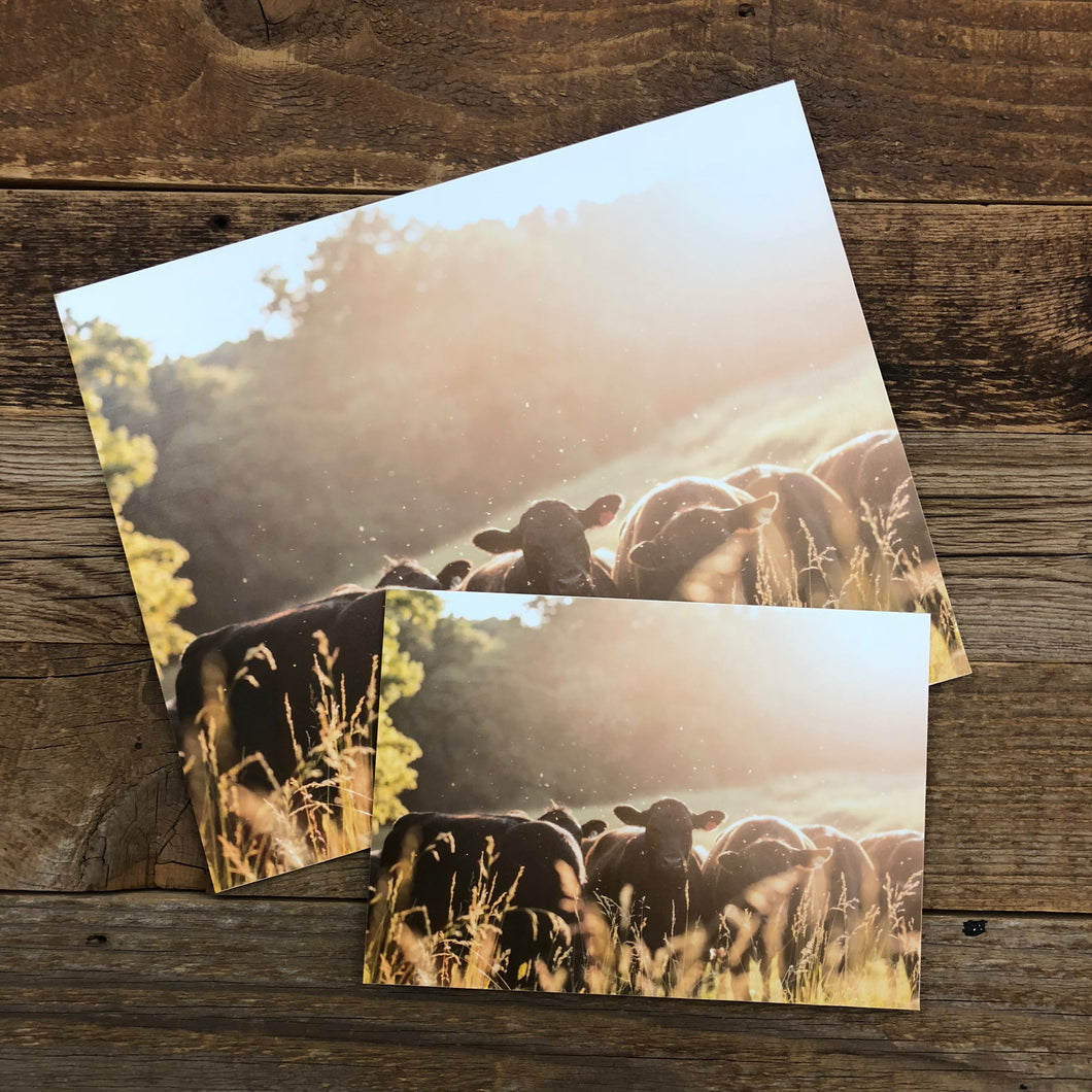 Backlit Heifers Print