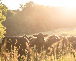 Backlit Cows Print