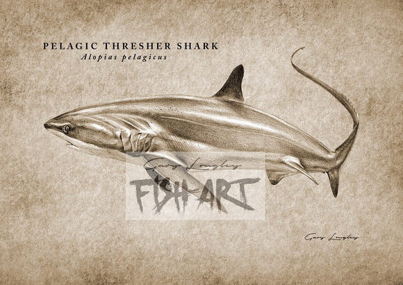Pelagic Thresher Shark - LIMITED EDITION 21 ONLY