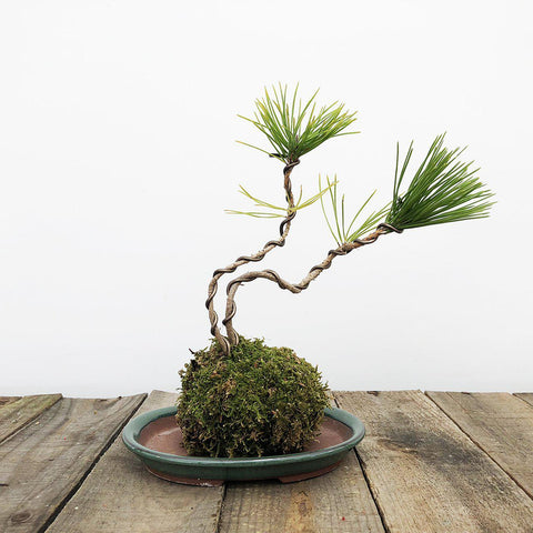 Kokedama Moss Ball Bonsai Planter