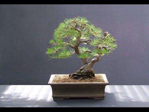 Osaka Bonsai Pine Tree