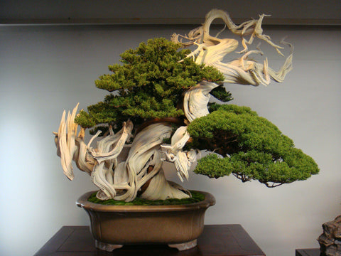 Gorgeous Juniper Bonsai