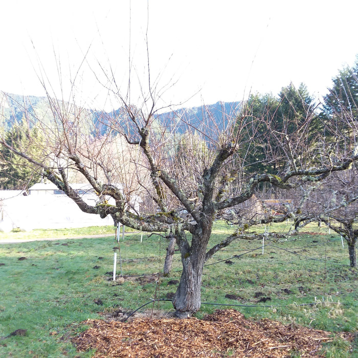 Two Tried and True Pruning Strategies for Fruit Trees