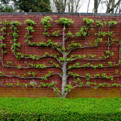 Espalier and Other Intensive Pruning and Training