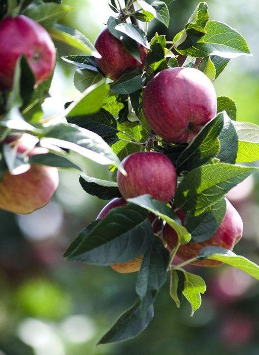 Combo Cider Apple Tree (4 varieties)