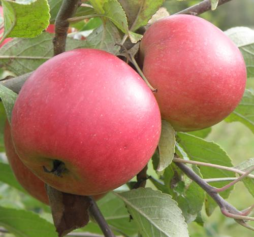 Queen Cox Self-Fertile Apple