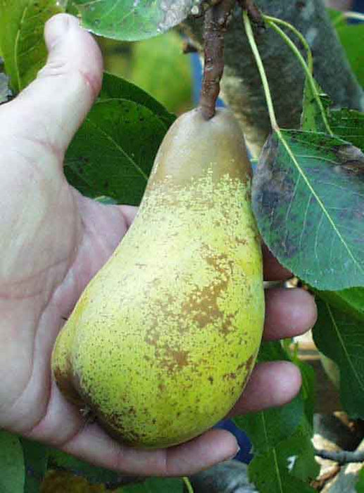 Atlantic Queen European Pear