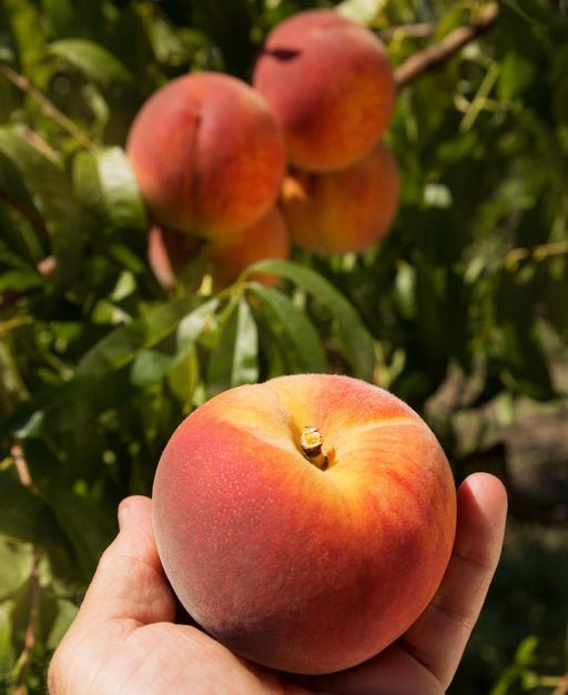 Avalon Pride Peach Tree