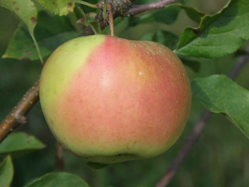 Bella™ Apple