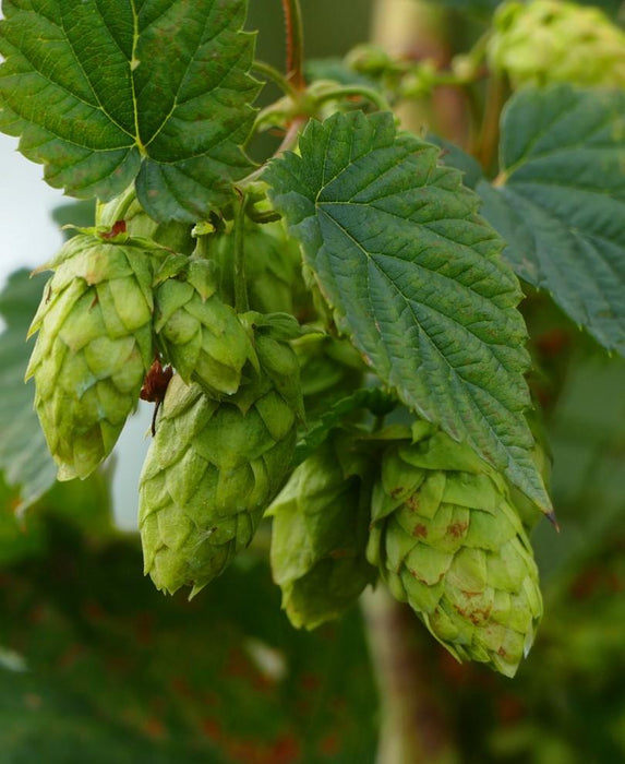 Brewer's Gold Hops