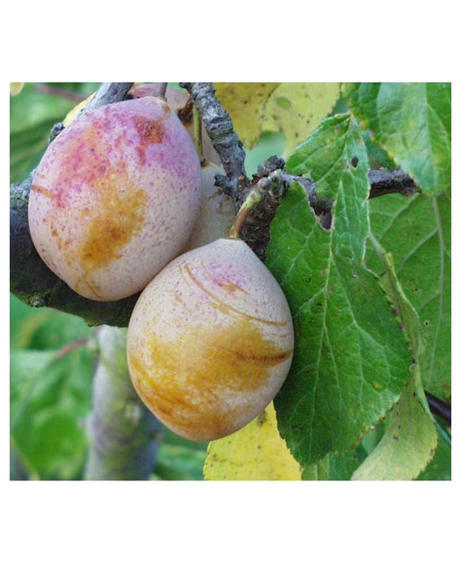 Coe's Golden Drop European Plum