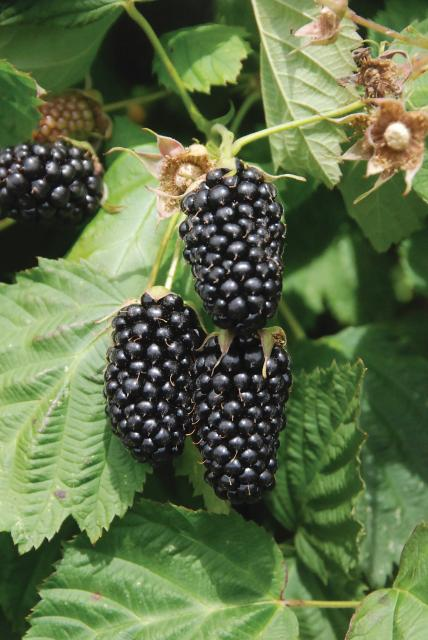 Columbia Star Thornless Blackberry