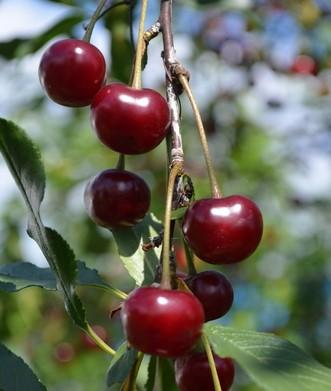 Craig's Crimson Cherry