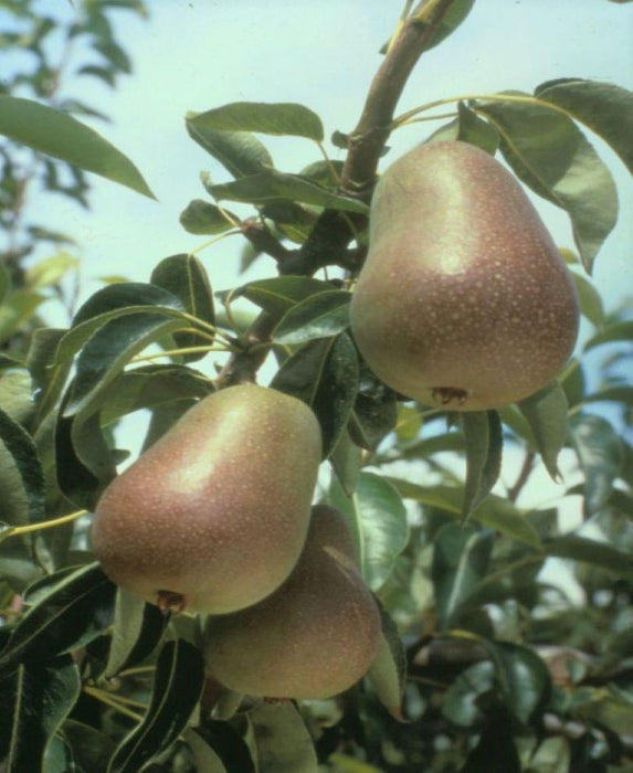 Harrow Delight European Pear