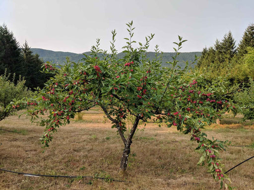 Evereste Crabapple
