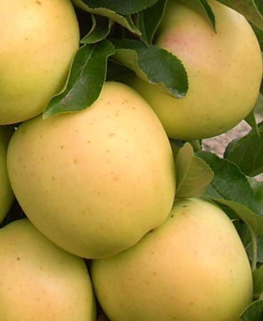 Golden Treat™ Urban™ Columnar Apple