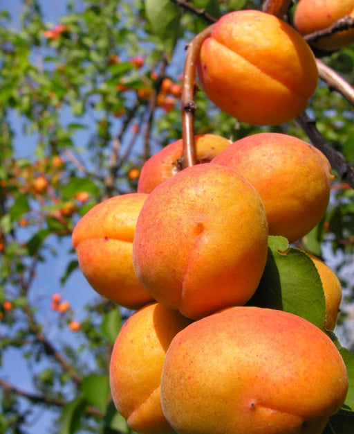 Harglow Apricot