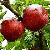 Combination Disease-Resistant Apple (3 Varieites)
