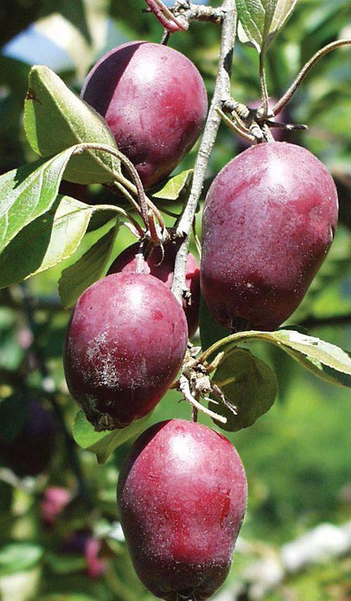 Hansen's Red Fleshed Crabapple
