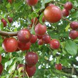 Reddish Purple Roadside Plum