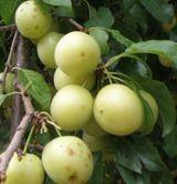 Yellow Roadside Plum