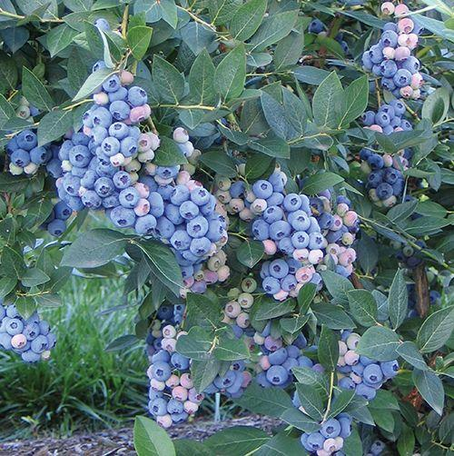 Aurora Blueberry